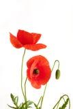 Duas papoilas vermelhas bonitas Imagens de Stock Royalty Free