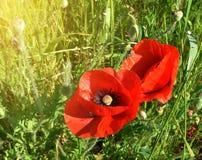Duas papoilas vermelhas que florescem entre a grama de prado verde Foto de Stock Royalty Free