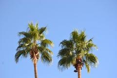 Duas partes superiores da palmeira Imagens de Stock Royalty Free