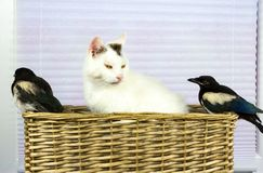 Duas pegas novas descobriram a cesta do gato Foto de Stock Royalty Free