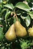 Duas peras maduras de Bosc Imagem de Stock