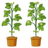 Duas plantas em pasta com feijões ilustração do vetor