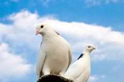 Duas pombas Fotografia de Stock