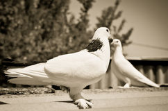 Duas pombas Foto de Stock