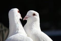 Duas pombas Imagens de Stock Royalty Free