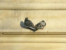 Duas pombas Imagem de Stock Royalty Free