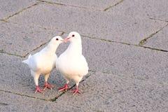 Duas pombas brancas, perseguindo e beijando Imagens de Stock