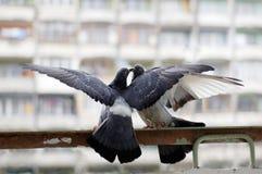 Duas pombas que lutam ou 'que beijam' fotografia de stock royalty free
