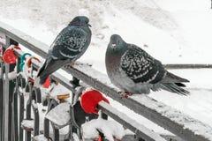Duas pombas que sentam-se nos trilhos da ponte, decorados pelos fechamentos do casamento que simbolizam a força da união no fundo imagem de stock royalty free
