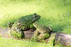 Duas rãs verdes em um tronco em uma lagoa completamente da lentilha-d'água fotografia de stock