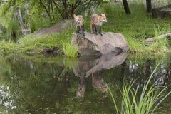 Duas raposas em uma rocha do lago Foto de Stock Royalty Free