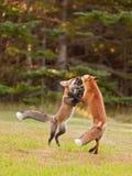 Duas raposas novas que wrestling playfully foto de stock royalty free