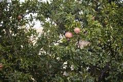 Duas romã em uma árvore no verão Imagens de Stock Royalty Free