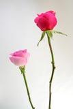 Duas rosas Imagens de Stock