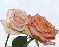 Duas rosas Fotografia de Stock Royalty Free