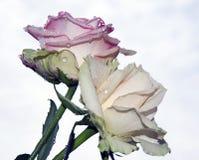 Duas rosas Fotos de Stock