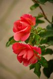 Duas rosas foto de stock royalty free