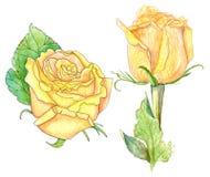 Duas rosas amarelas, aquarela no branco Imagens de Stock