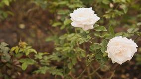 Duas rosas brancas de uma máscara delicada flutuam no vento filme