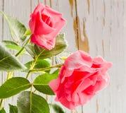 Duas rosas cor-de-rosa Fotos de Stock Royalty Free