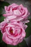 Duas rosas cor-de-rosa Imagens de Stock