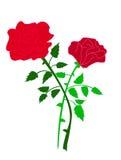 Duas rosas isoladas Imagens de Stock