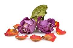 Duas rosas secas Imagem de Stock Royalty Free