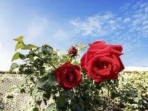 Duas rosas vermelhas bonitas e o céu azul da manhã Fotografia de Stock