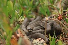 Duas serpentes nas madeiras Imagem de Stock