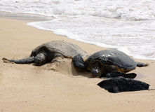 Duas tartarugas Imagens de Stock Royalty Free