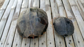 Duas tartarugas Fotografia de Stock Royalty Free