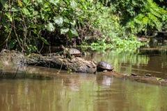 Duas tartarugas bastante enormes estão ficando em uma árvore caída dentro do rio Fotos de Stock