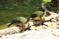 Duas tartarugas de água doce Fotografia de Stock