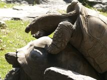 Duas tartarugas de Aldabra que acoplam 1 Imagens de Stock