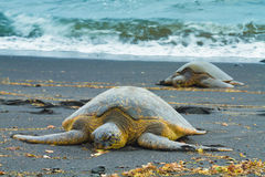 Duas tartarugas de mar verde Fotos de Stock