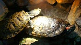 Duas tartarugas em um lugar incluido vídeos de arquivo
