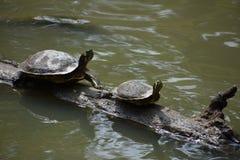 Duas tartarugas em um registro Fotografia de Stock