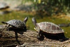Duas tartarugas em um registro Fotos de Stock Royalty Free