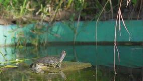 Duas tartarugas em uma lagoa verde Duas tartarugas pequenas estão sentando-se no lago Duas tartarugas que tomam sol no sol vídeos de arquivo