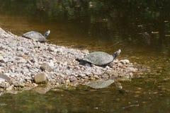 Duas tartarugas no perfil em rochas Fotografia de Stock Royalty Free