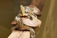 Duas tartarugas pintadas no jardim botânico de Sigapore horizontal Imagem de Stock Royalty Free