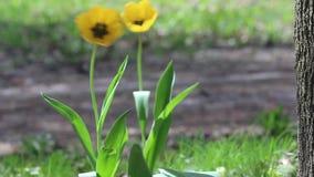 Duas tulipas amarelas com os centros pretos que fundem no vento em um dia ensolarado vídeos de arquivo