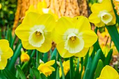 Duas tulipas amarelas muito agradáveis e bonitas no primeiro plano fotografia de stock