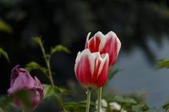 Duas tulipas cor-de-rosa com um fundo escuro Imagens de Stock Royalty Free