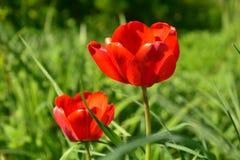 Duas tulipas de florescência vermelhas no campo fotografia de stock royalty free