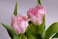 Duas tulipas do botão Foto de Stock