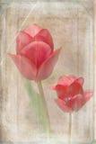Duas tulipas vermelhas imagens de stock