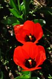 Duas tulipas vermelhas de florescência Fotografia de Stock