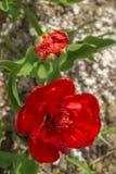 Duas tulipas vermelhas fecham-se acima Fotografia de Stock Royalty Free