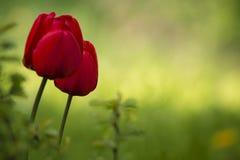 Duas tulipas vermelhas no fundo verde Imagem de Stock Royalty Free